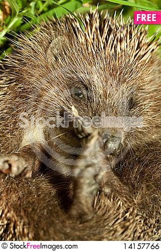 Free Hedgehog Royalty Free Stock Image - 14157766