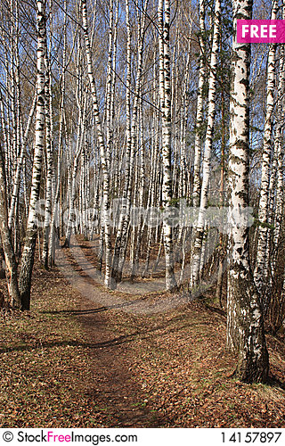 Free Birch Wood In The Early Spring Royalty Free Stock Photography - 14157897