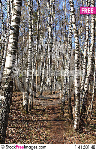 Free Birch Wood In The Early Spring Royalty Free Stock Photos - 14158148