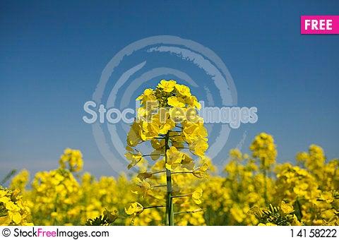 Free Rape Field Stock Photography - 14158222
