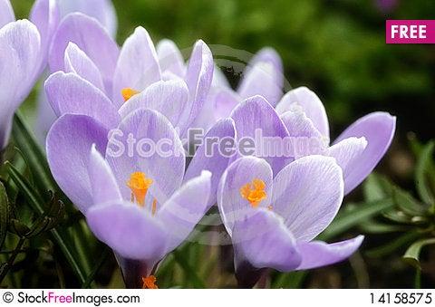Free Lilac Crocuses Royalty Free Stock Photo - 14158575
