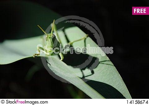 Free Grasshopper Stock Images - 14158674