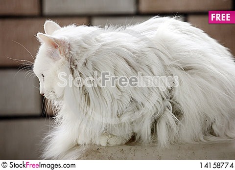 Free White Cat Indoor. Stock Images - 14158774