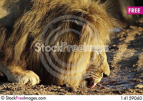 Free Lion Drinking Stock Photo - 14159060
