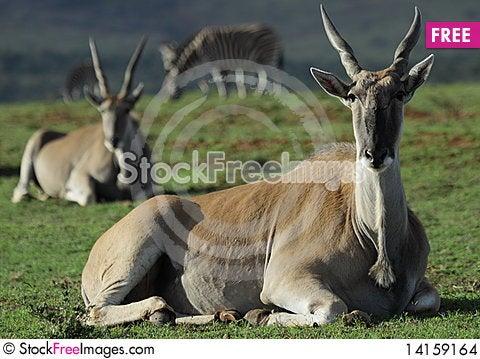 Free Eland Stock Images - 14159164