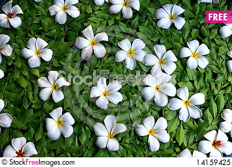 Free Plumeria White Royalty Free Stock Photo - 14159425
