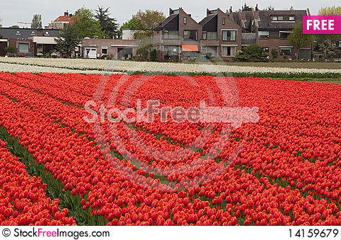 Free Tulips In Front Of House Royalty Free Stock Images - 14159679