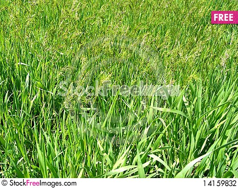Free Green Grass Stock Photography - 14159832