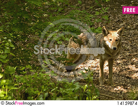 Free Red Wolf In Woods Stock Images - 14159874