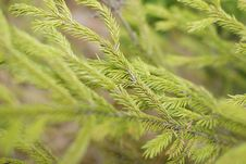 Free Conifer Background Stock Photography - 14150612
