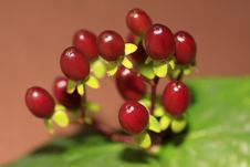 Free Red Berries Stock Photos - 14150973