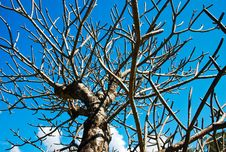 Free Tree  Dry Royalty Free Stock Photo - 14151165