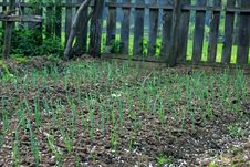 Free Onion Plantation Stock Photography - 14151272