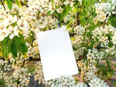 Free Card Against Flowers Of A Wild Pear Royalty Free Stock Photos - 14153848
