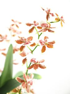Free Blooming Oncidium Royalty Free Stock Photos - 14155398