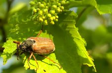 Free Beetle Royalty Free Stock Photos - 14155588