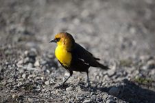 Free Yellow Bird Royalty Free Stock Photos - 14155698