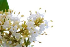 Free Blossoming Bush Royalty Free Stock Images - 14155769