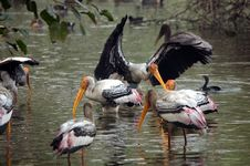 Free Painted Storks Fishing Royalty Free Stock Images - 14156879