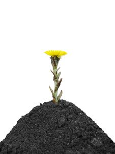 Black Soil And Yellow Spring Flower Stock Photography