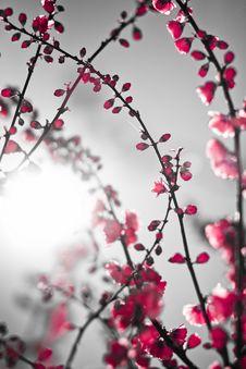 Free Red Sakura Royalty Free Stock Photos - 14157408