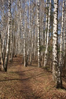 Birch Wood In The Early Spring Royalty Free Stock Photography