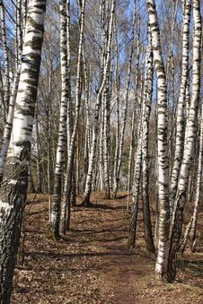 Birch Wood In The Early Spring Royalty Free Stock Photos
