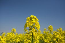 Free Rape Field Stock Photography - 14158222