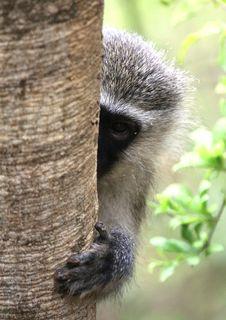 Free Sneaky Monkey Stock Photo - 14158580