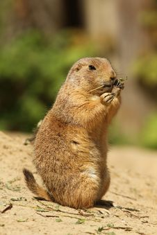 Free Prairie Dog Standing Upright And Eating A Twig Royalty Free Stock Photos - 14159118