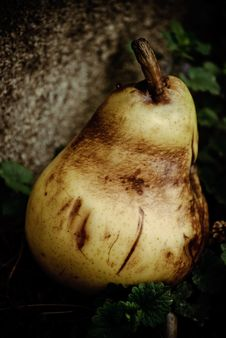 Rotten Pear Royalty Free Stock Photos