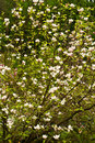 Free Blooming Magnolia Stock Photography - 14161852