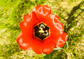 Free Red Flower Tulip Outdoor Close Up Royalty Free Stock Photos - 14162308