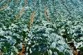 Free California Cabbage Crop Royalty Free Stock Photos - 14164988