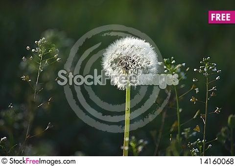 Free Dandelion Royalty Free Stock Photos - 14160068