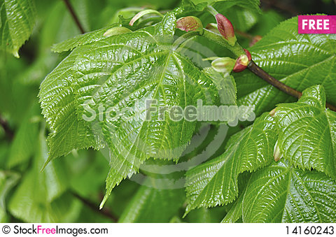 Free Green Spring Leaves Stock Photos - 14160243