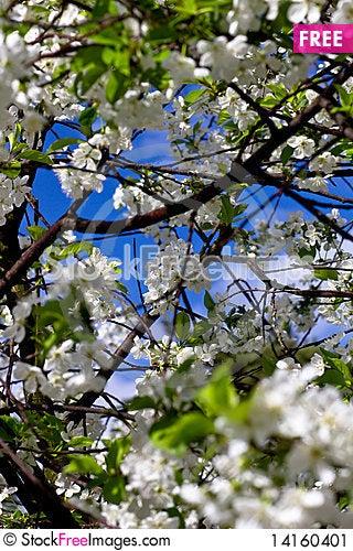Free Cherry Blossom Stock Image - 14160401