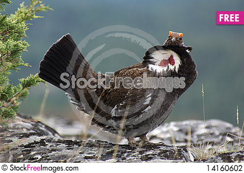 Free Blue Grouse 02 Stock Photography - 14160602