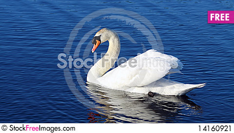 Free Swan In The Water Stock Image - 14160921