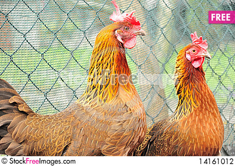 Free Chicken Stock Photography - 14161012