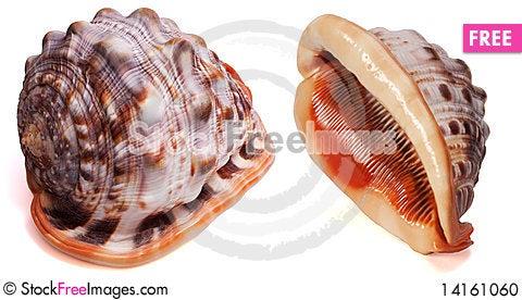 Free Cypraecassis Rufa Seashell Isolated Stock Photo - 14161060