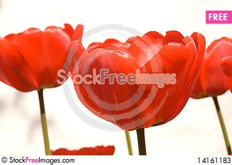 Free Buds Of Tulips Stock Photos - 14161183