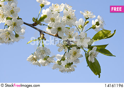 Free Flowering Cherry Close-up Royalty Free Stock Image - 14161196