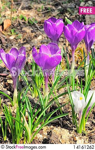 Free Crocus Flowers Stock Photography - 14161262
