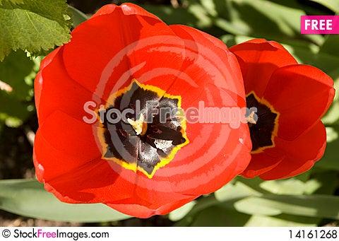 Free Tulip Close-up Royalty Free Stock Photos - 14161268