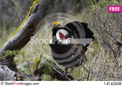 Free Blue Grouse 29 Royalty Free Stock Photos - 14162608