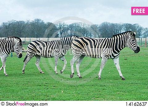 Free Zebras Royalty Free Stock Photography - 14162637