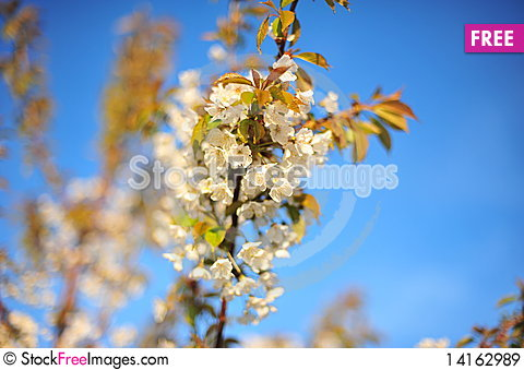 Free Spring Flowers Royalty Free Stock Images - 14162989
