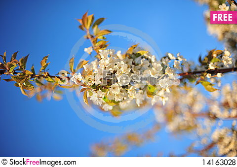 Free Spring Flowers Royalty Free Stock Photos - 14163028