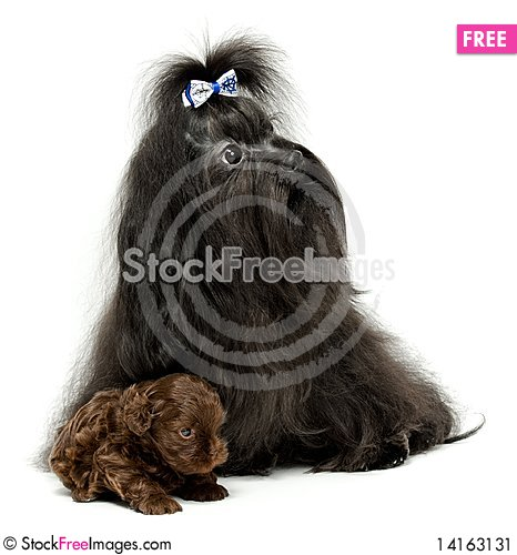 Free Lap Dog With A Puppy Stock Image - 14163131